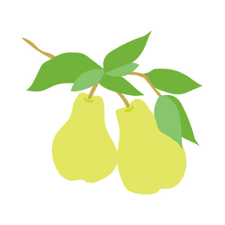 Fruit pear branch. Stock vector illustration isolated on white background. Hand drawn pears hanging on branch with leaves. Kitchen design decoration, food packaging, flat food illustration, fruit tree Vektorové ilustrace