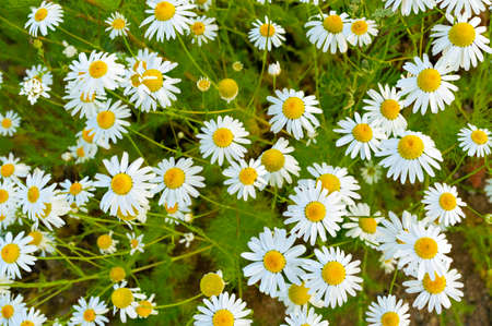 Floral background with chamomile flowers among green grass top view. Spring concept, plant flowering, copy space
