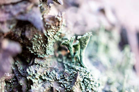 foliose Cyan lichens close-up growing on tree bark, selective focus, natural botanical background, copy space, species biodiversity, macro photography Reklamní fotografie