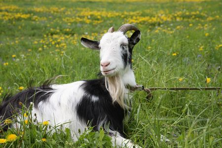 Black-and-white goat in the field with dandelions photo