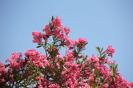 Blossoming branches of a pink oleander against the blue sky photo