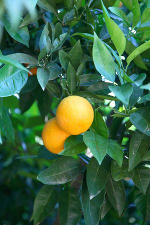 agronomics: Branches of orange trees with ripening fruits