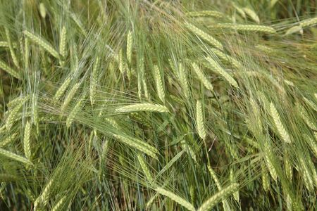 agronomics: Background from green ears of wheat or a rye