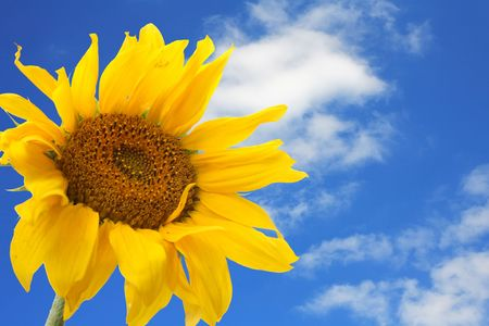 big sunflower against the blue sky with clouds Stock Photo - 5376212