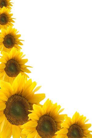 girasol: Marco de los colores de un girasol sobre un fondo blanco