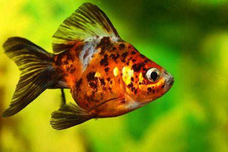 Goldfish in aquarium photo