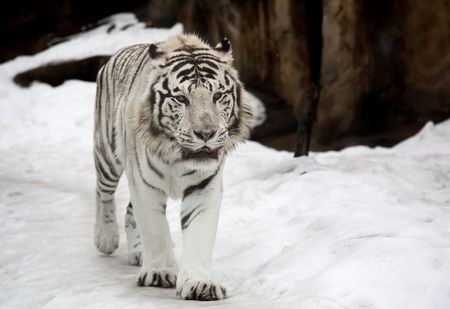 subspecies: White Bengal Tiger in a close up view portrait Stock Photo
