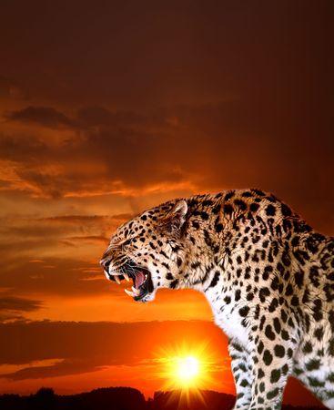 far east: Leopardo de extremo Oriente contra el cielo brillante