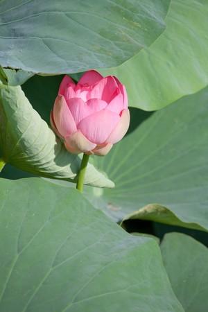 Beautiful flowers of a lotus (Nelumbo komarovii, Nelumbo nucifera) photo