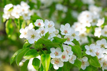 Branches of a blossoming apple-tree against the blue sky Stock Photo