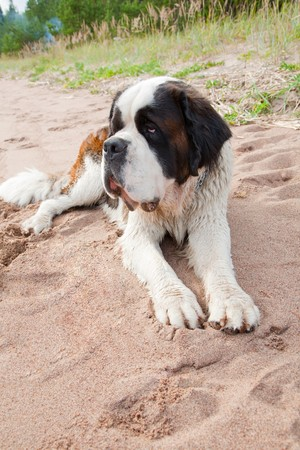 st  bernard: Puppy of a St. Bernard on a sandy beach Stock Photo
