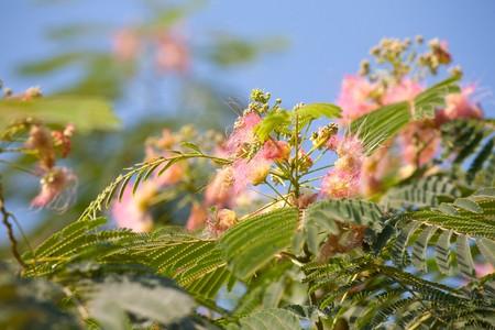 Lenkoransky acacia (Albizia julibrissin) photo