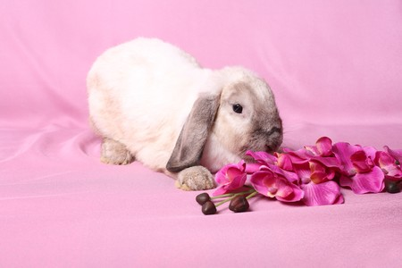 dwarfish: Decorative dwarfish rabbit on a pink background.