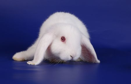 dwarfish: Dwarfish lop-eared rabbit an albino on a dark blue background Stock Photo