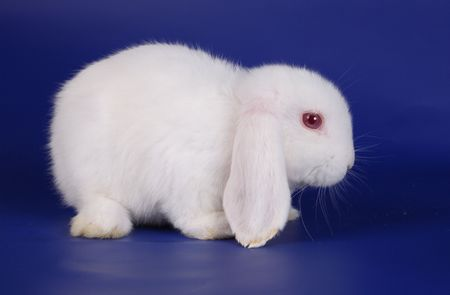 Dwarfish lop-eared rabbit an albino on a dark blue background photo
