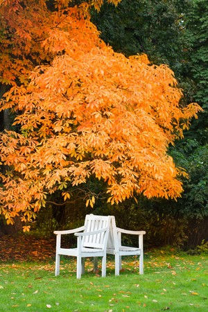 Two white chairs under a tree with orange leaves photo