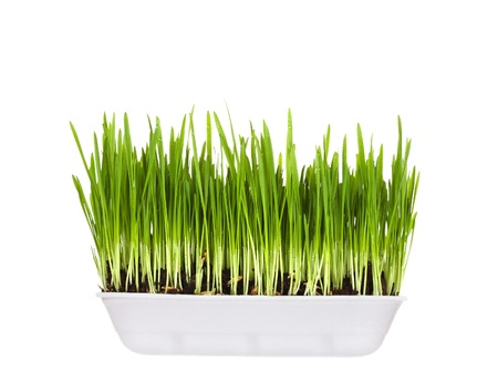 green wheat: plastic container with young green sprouts, it is isolated on a white background Stock Photo