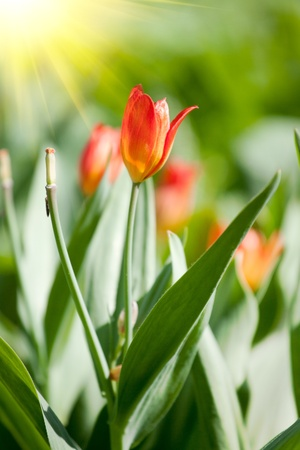 Spring field with colorful tulips. Stock Photo - 9791629
