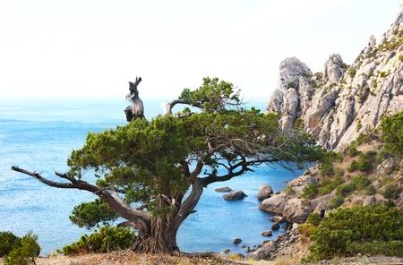 rocky mountain juniper: juniper tree on rock (Novyj Svit reserve, Crimea, Ukraine).