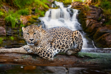 jaguar has a rest against falls photo