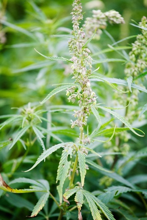 narcotism: Hemp thickets Stock Photo