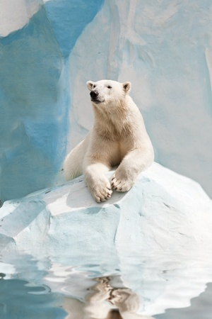 polar bear on the ice: Polar bear in a zoo