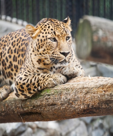 jaguar has a rest photo