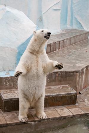 Polar bear in a zoo photo