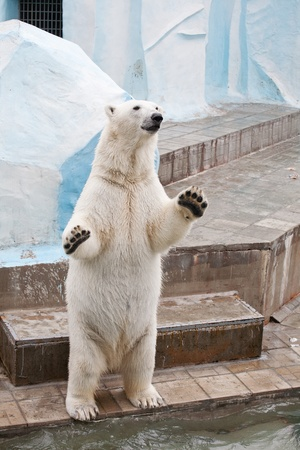 Un ours polaire dans un zoo