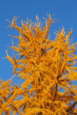 Closeup of yellow larch needles in autumn photo