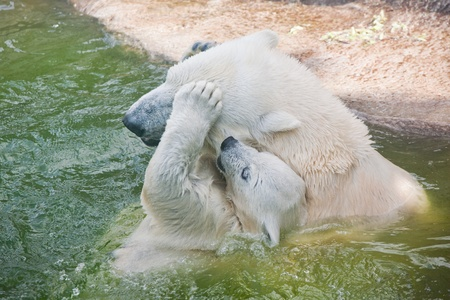 Polar bear in a zoo photo