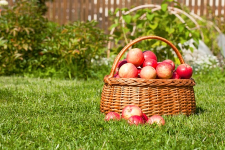 basket with red apples costs on a grass Stock Photo - 10890882