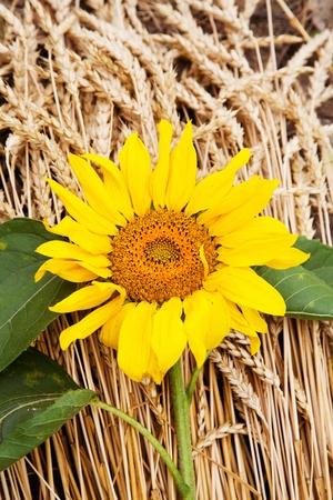 agronomics: big sunflower lies on ripe ears of wheat