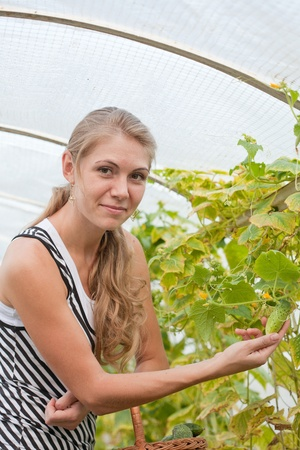 forcing bed: girl is picking cucumber in the greenhouse