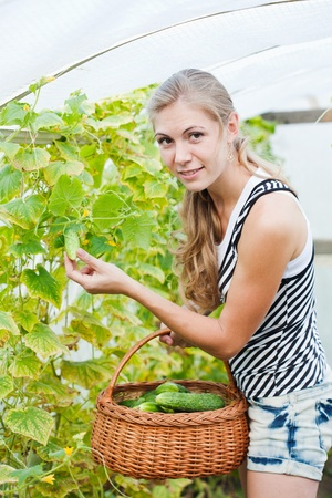 girl is picking cucumber in the greenhouse photo