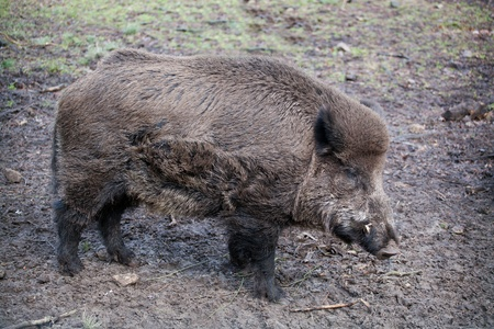 Wild boar (Sus scrofa) in the wild nature in Belovezhsky more photo