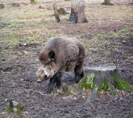 Jabal� (Sus scrofa) en la naturaleza salvaje en la Belovezhsky m�s photo