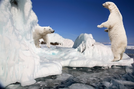Two white polar bears on ice floes