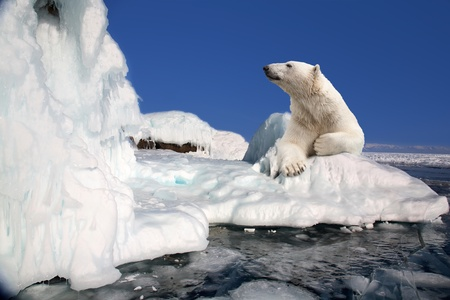 calentamiento global: oso polar de pie en el bloque de hielo Foto de archivo