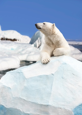polar bear on ice: polar bear standing on the ice block
