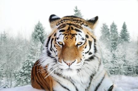 Portrait de tigre de l'Amour sur un fond d'une taïga de la neige