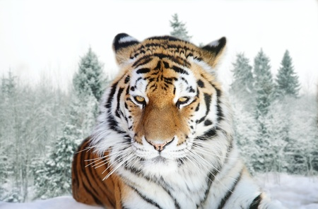 Portrait of the Amur tiger on a background of a snow taiga photo