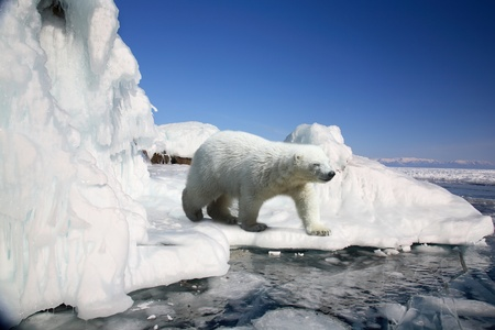 polar bear on the ice: polar bear standing on the ice block