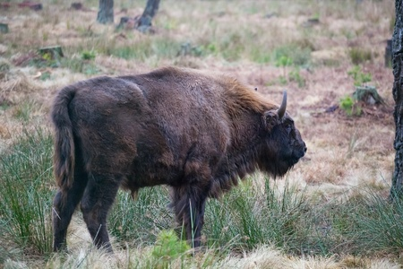 Bison (Bison bonasus) in the wild nature in national park the Belovezhsky dense forest Stock Photo - 13088614