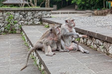 beggar's: Monkeys beggars elicit delicacies, Bali, Indonesia