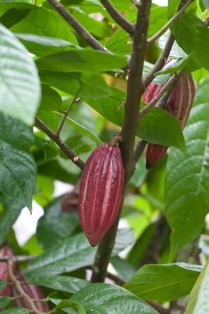 cocoa fruit: Cocoa tree with pods, Bali island, Indonesia Stock Photo