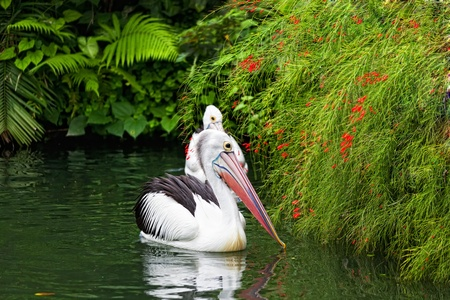 Pair of big pelicans floats on water photo
