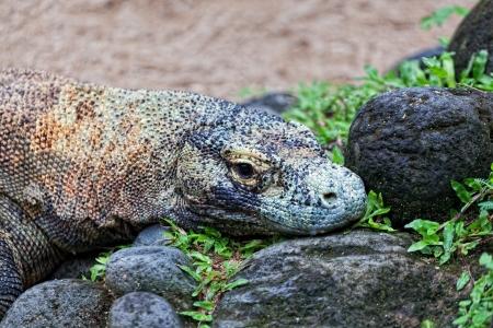 merciless: Komodo dragon, Varanus komodoensis, is the biggest living lizard in the world, Indonesia