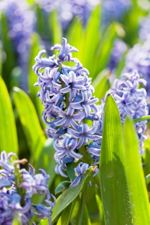 Field full with  Hyacinths in Holland  photo