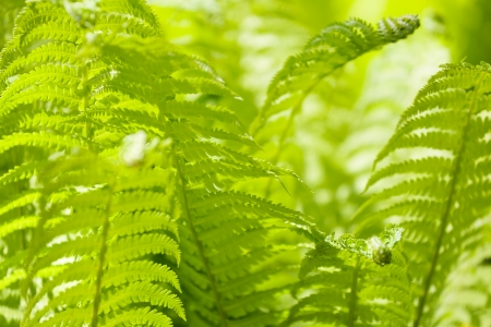 Bright green leaves of a fern as background photo